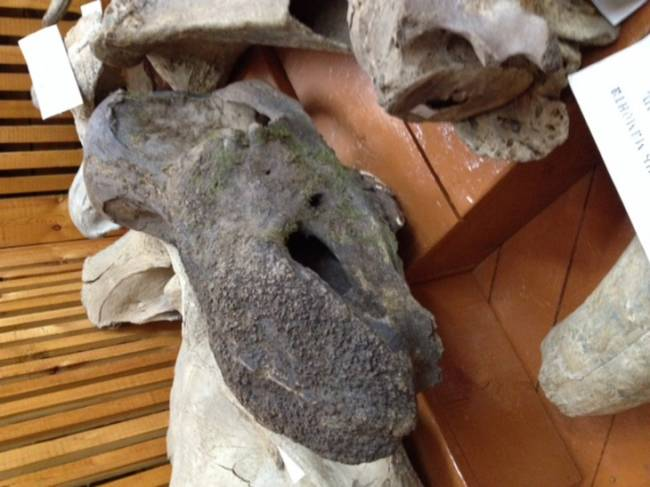 череп шерстистого носорога